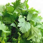 cilantro plant for aquaponics