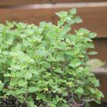 oregano plant for aquaponics