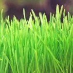 wheatgrass plant for aquaponics